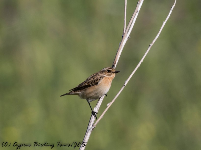 Whinchat, Anarita Park 19th April 2017 (c) Cyprus Birding Tours