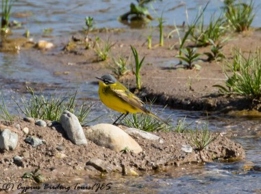 Yellow Wagtail, Nata Ford, 5th April 2017 (c) Cyprus Birding Tours
