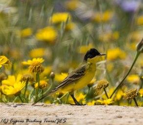 Yellow Wagtail, Paphos Headland, 14th April 2017 (c) Cyprus Birding Tours