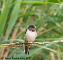 Recently fledged Barn Swallow, Larnaca Salt Lake 18th May 2017 (c) Cyprus Birding Tours