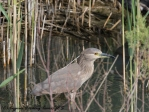 Black-crowned Night Heron juv, Zakaki Marsh 2nd May 2017 (1 of 1)