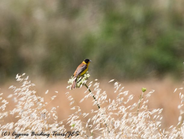 Black-headed Bunting, Pittokopos 19th May 2017 (c) Cyprus Birding Tours