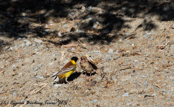 Black-headed Bunting, Prastio Kellakiou, 29th May 2017 (c) Cyprus Birding Tours