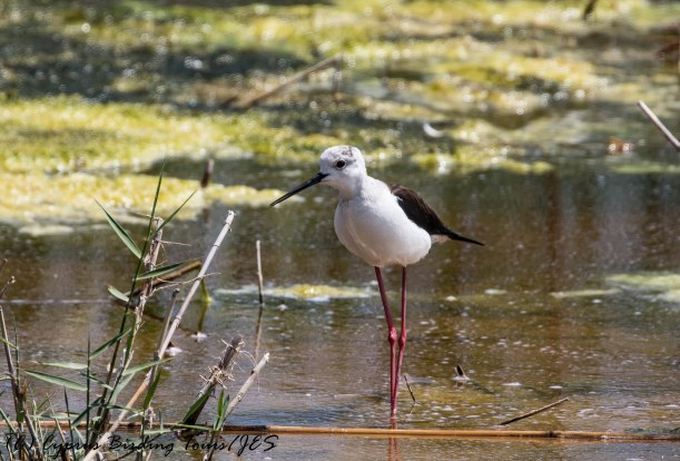 Black-winged Stilt, Oroklini Marsh 31st May 2017 (c) Cyprus Birding Tours