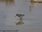 Broad-billed Sandpiper, Akrotiri 2nd May 2017 (c) Cyprus Birding Tours