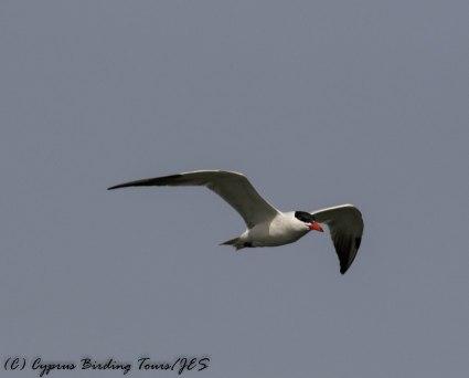 Caspian Tern, Larnaca Sewage Works 14th May 2017 (c) Cyprus Birding Tours