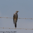 Common Cuckoo, Lady's Mile 2nd May 2017 (c) Cyprus Birding Tours