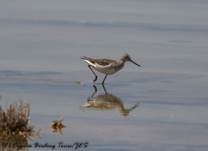 Common Greenshank, Lady's Mile 2nd May 2017 (1 of 1)