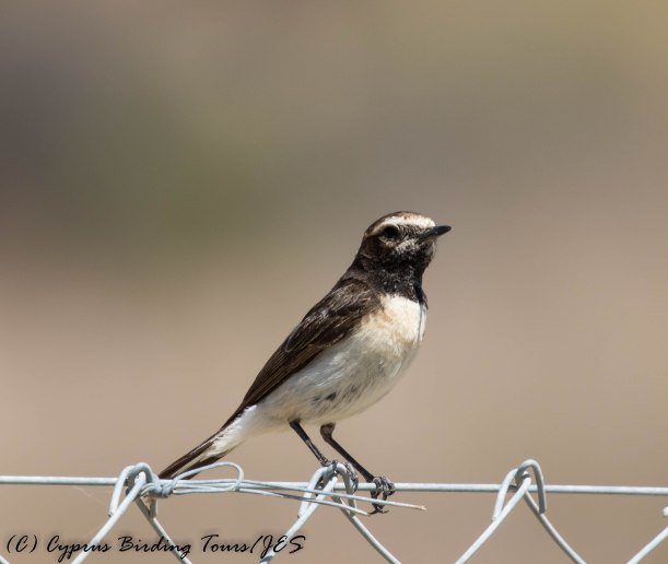 Cyprus Wheatear, Germasogeia Dam, 29th May 2017 (c) Cyprus Birding Tours