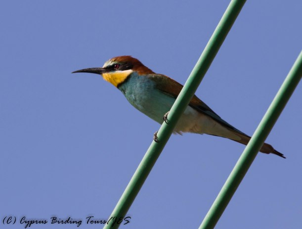 European Bee-eater, Latchi 10th May 2017 (c) Cyprus Birding Tours