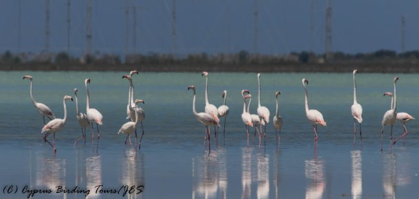 Greater Flamingo, Akrotiri Salt Lake 29th May 2017 (c) Cyprus Birding Tours