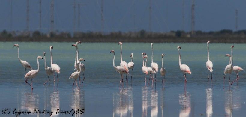 Greater Flamingo, Akrotiri Salt Lake 29th May 2017 (c) Cyprus Birding Tours