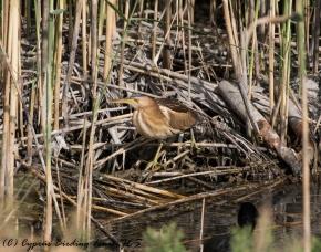 Little Bittern, Zakaki Marsh 2nd May 2017 (c) Cyprus Birding Tours
