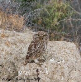 Little Owl, Larnaca Salt Lake, 18th May 2017 (c) Cyprus Birding Tours