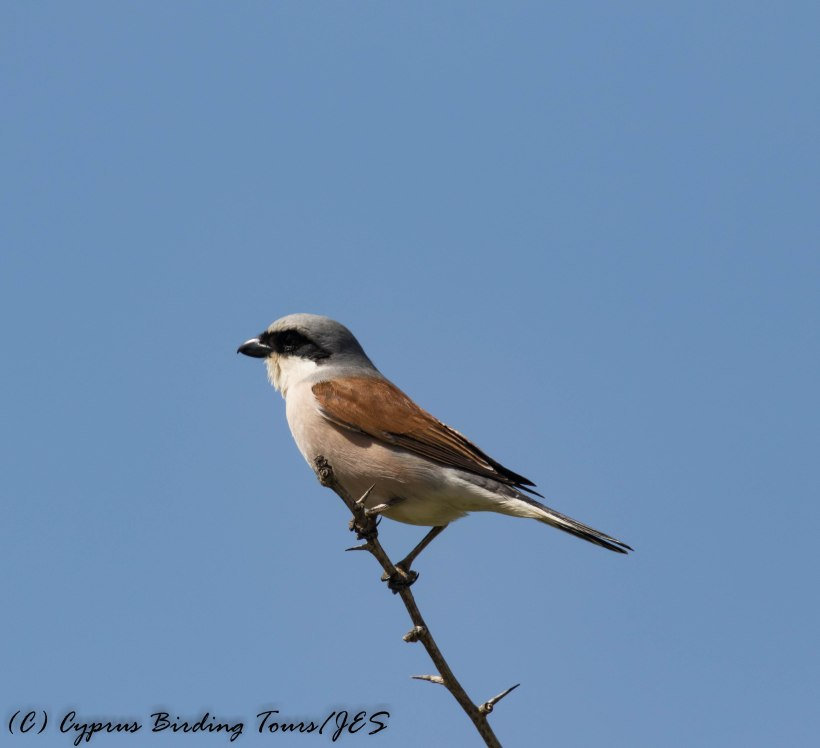 Red-backed Shrike, Arodes 10th May 2017 (c) Cyprus Birding Tours