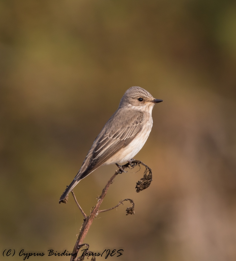 Spotted Flycatcher, Cape Greco 3rd May 2017 (c) Cyprus Birding Tours