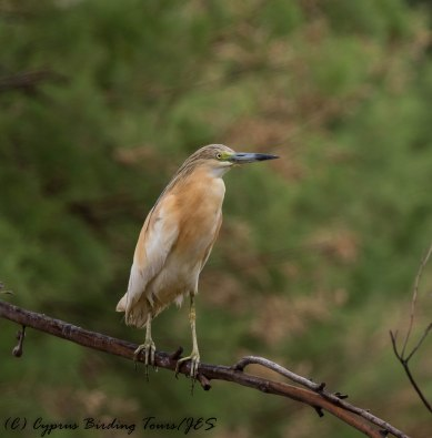 Squacco Heron, Larnaca Salt Lake 18th May 2017 (c) Cyprus Birding Tours