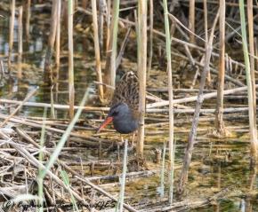 Water Rail, Zakaki Marsh 2nd May 2017 (c) Cyprus Birding Tours