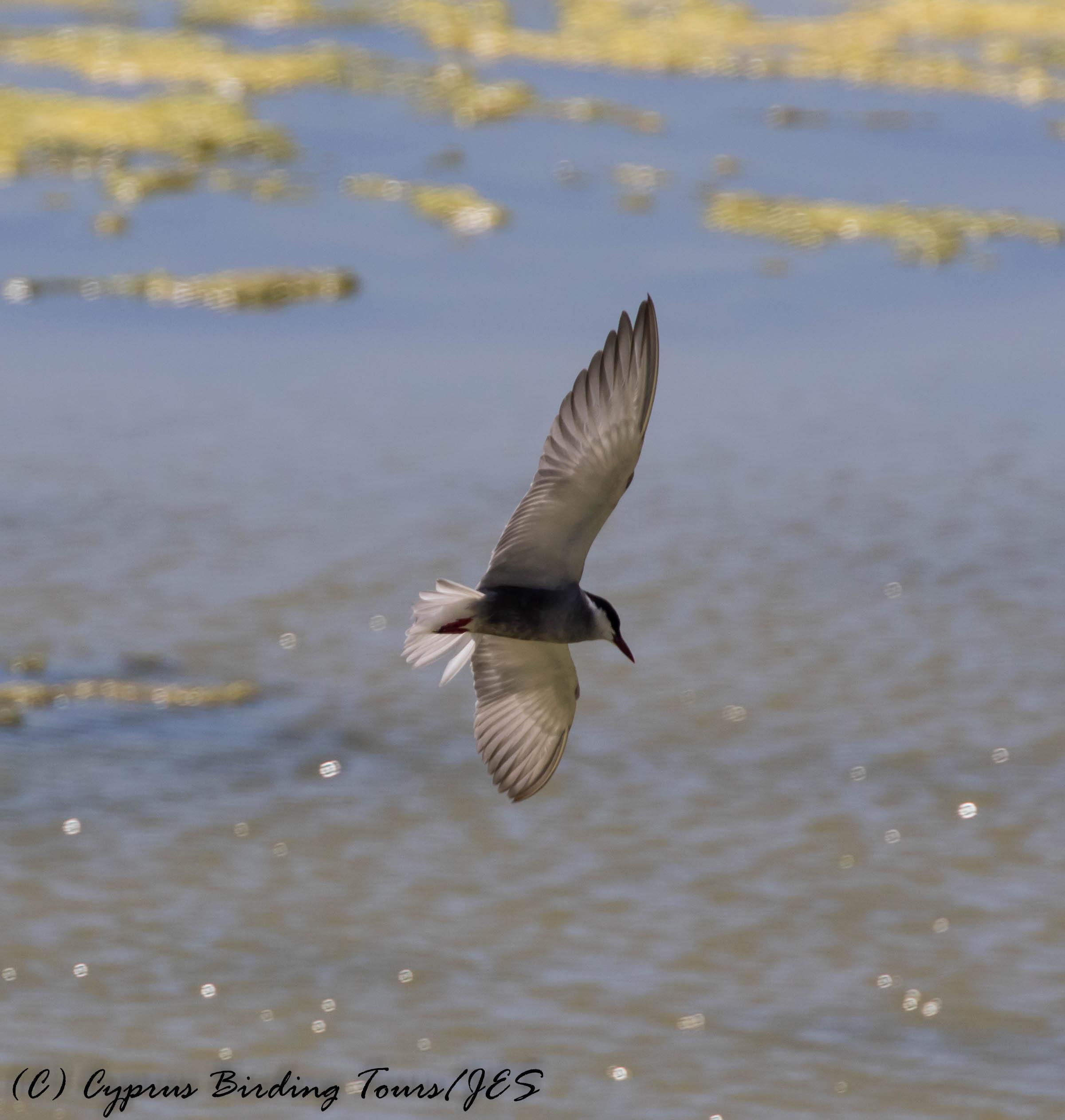 Whiskered Tern, Oroklini Marsh 17th May 2017 (c) Cyprus Birding Tours