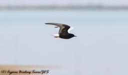 White-winged Tern, Akrotiri 2nd May 2017 (c) Cyprus Birding Tours
