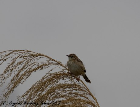 Zitting Cisticola, Larnaca Salt Lake, 18th May 2017 (c) Cyprus Birding Tours