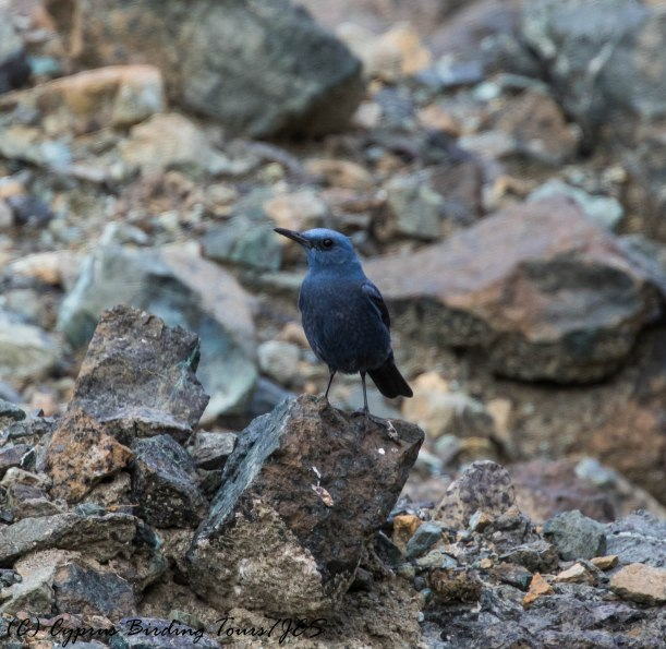 Blue Rock Thrush, Amiantos 6th June 2017 (c) Cyprus Birding Tours