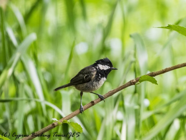 Coal Tit, Troodos 6th June 2017(c) Cyprus Birding Tours