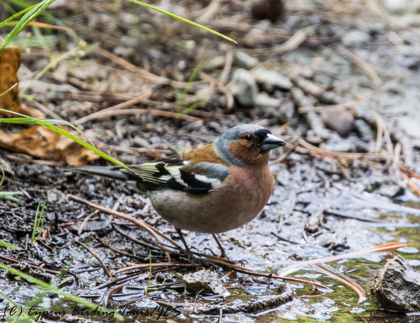 Common Chaffinch, Troodos 6th June 2017 (c) Cyprus Birding Tours