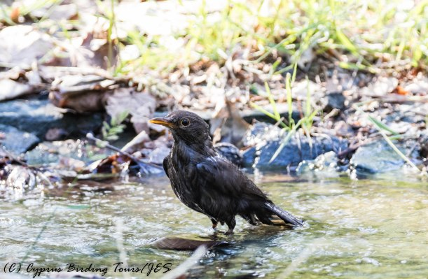 Female Eurasian Blackbird taking a bath, Platania 20th June 2017 (c) Cyprus Birding Tours