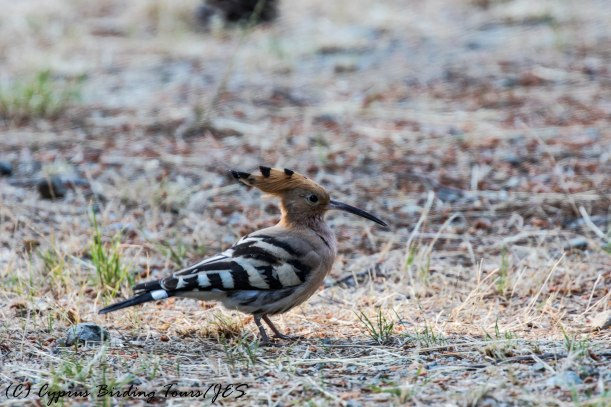 Eurasian Hoopoe, Platania 20th June 2017 (c) Cyprus Birding Tours