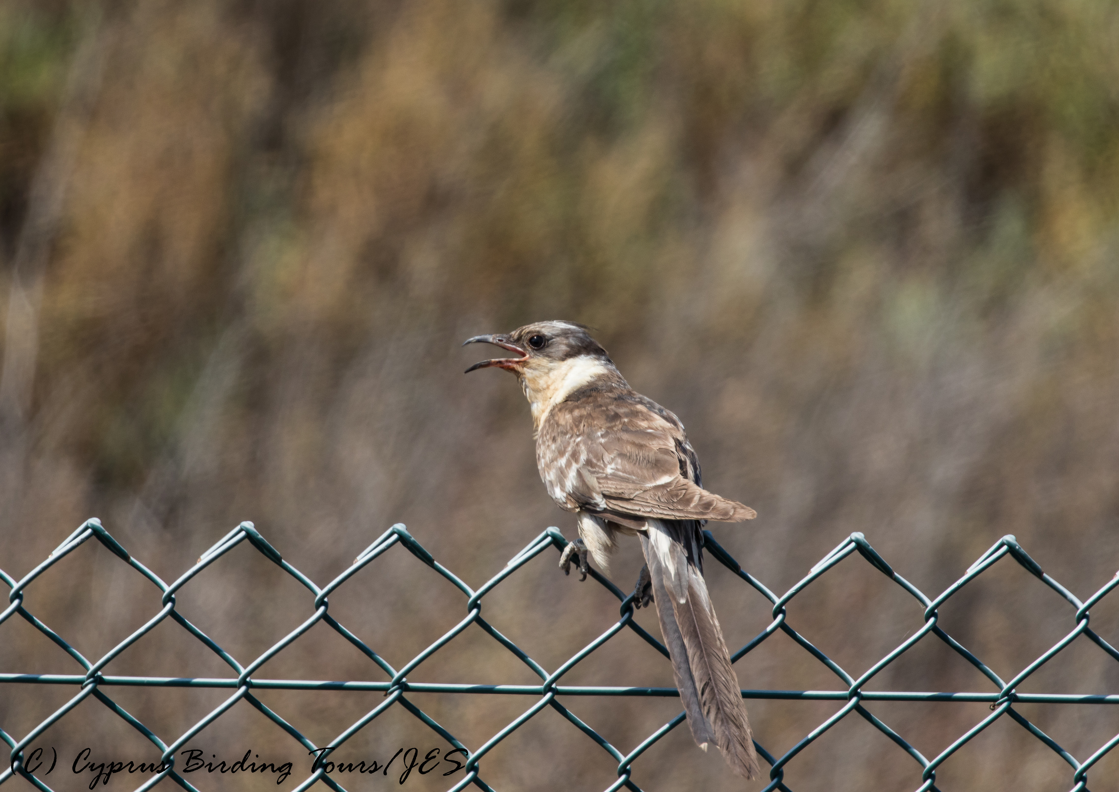 Great Spotted Cuckoo, Larnaca Sewage Works 30th June 2017 (c) Cyprus Birding Tours