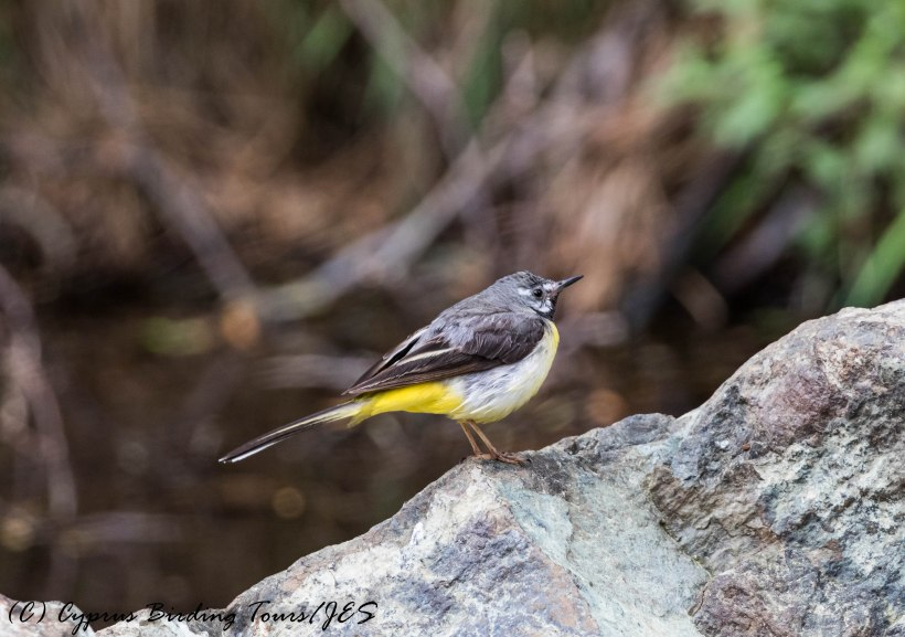 Grey Wagtail, Troodos 20th June 2017 (Cyprus Birding Tours)
