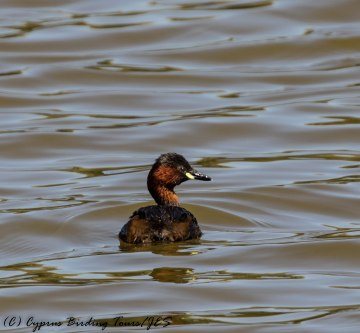 Adult Little Grebe, Athalassa Dam 22nd June 2017 (c) Cyprus Birding Tours