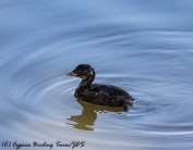 Juvenile Little Grebe, Athalassa Dam, 22nd June 2017 (c) Cyprus Birding Tours