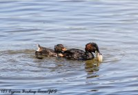 Adult and juvenile Little Grebe, Athalassa Dam 22nd June 2017 (c) Cyprus Birding Tours