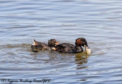 Adult and juvenile Little Grebe, Athalassa Dam 22nd June 2017 (c) Cyprus Birding Tours