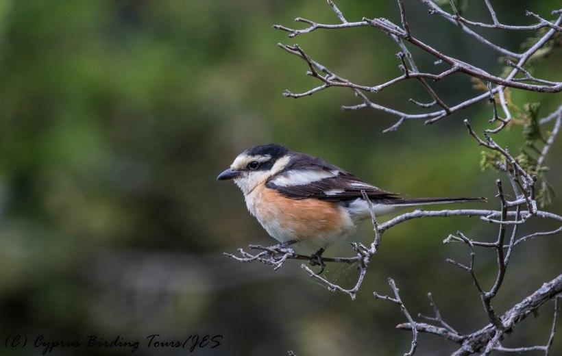 Masked Shrike, Livadi tou Pashia 20th June 2017 (c) Cyprus Birding Tours
