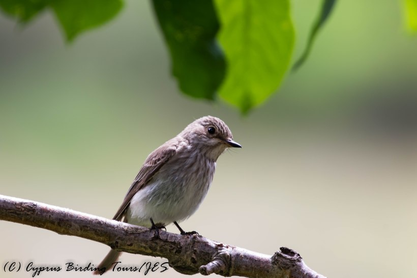 Spotted Flycatcher, Troodos 6th June 2017 (c) Cyprus Birding Tours