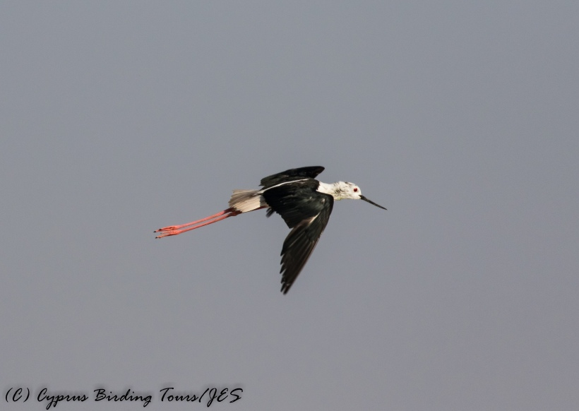 Black-winged Stilt, Larnaca Sewage Works 17th July 2017 (c) Cyprus Birding Tours