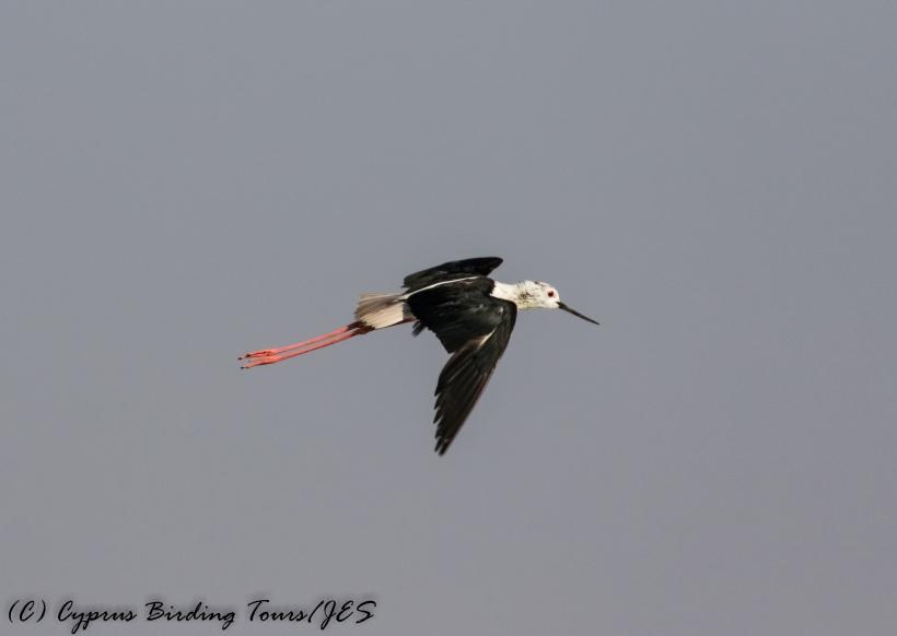 Black-winged Stilt, Larnaca Sewage Works 17th July 2017 (c) Cyprus Birding Tours