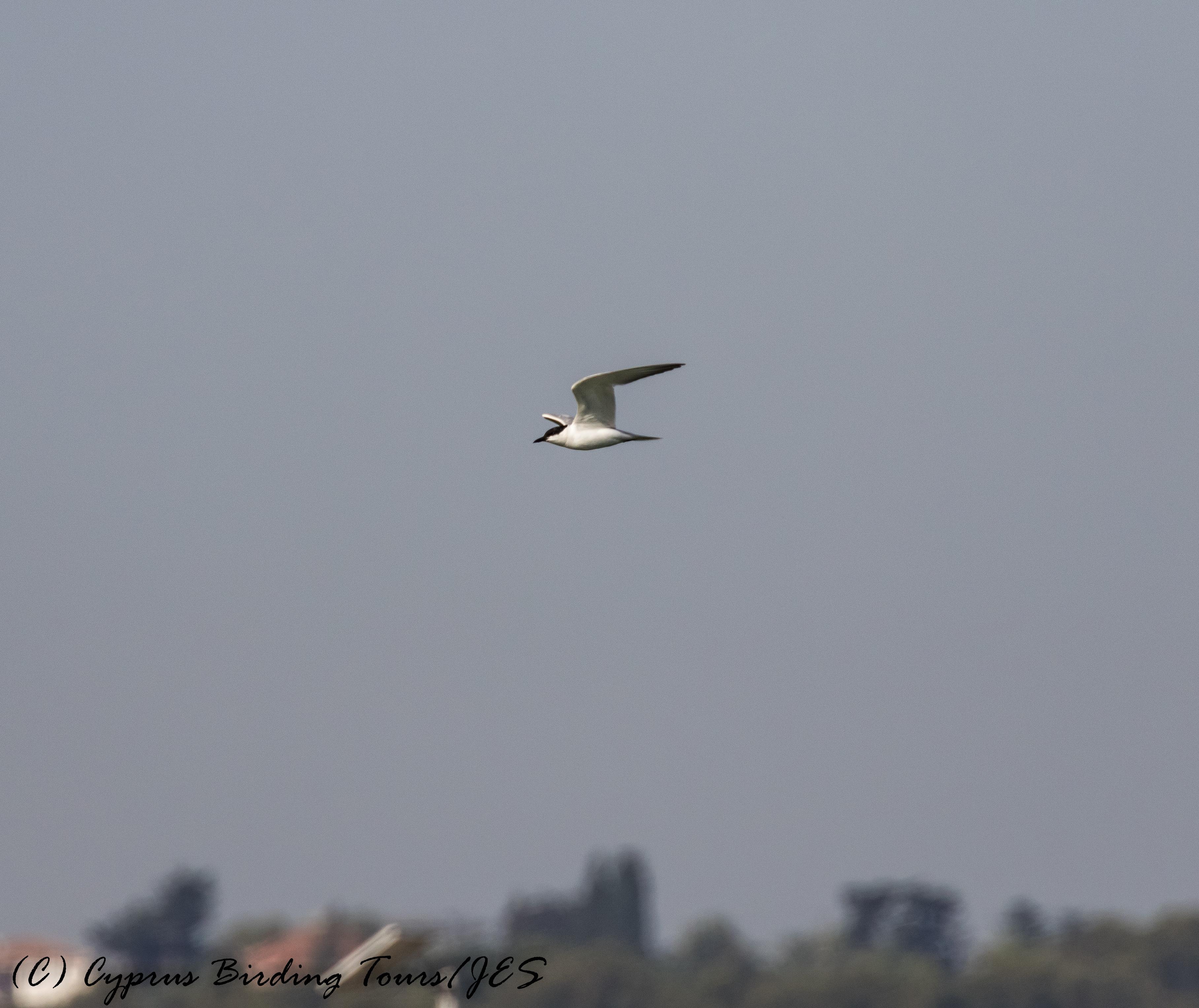 Gull-billed Tern, Larnaca Sewage Works 11th July 2017 (c) Cyprus Birding Tours