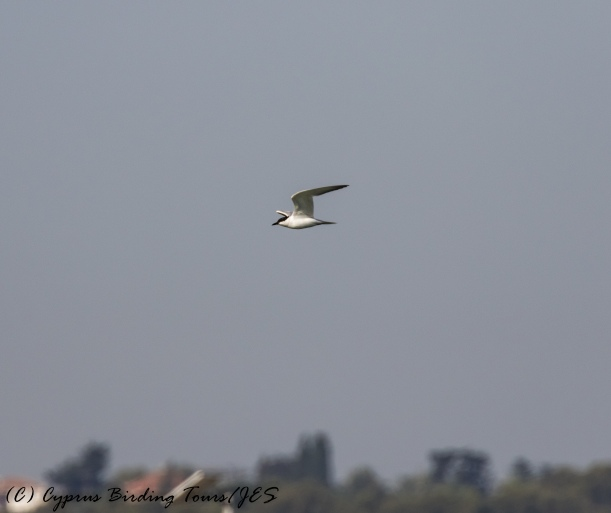Gull-billed Tern, Larnaca Sewage Works 11th July 2017 (c) Cyprus Birding Tours