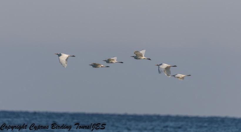 Cattle Egret, Polils Chrysochou Bay 2nd August 2017 (c) Cyprus Birding Tours