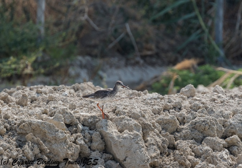 Common Redshank, Larnaca Salt Lake 12th August 2017 (c) Cyprus Birding Tours