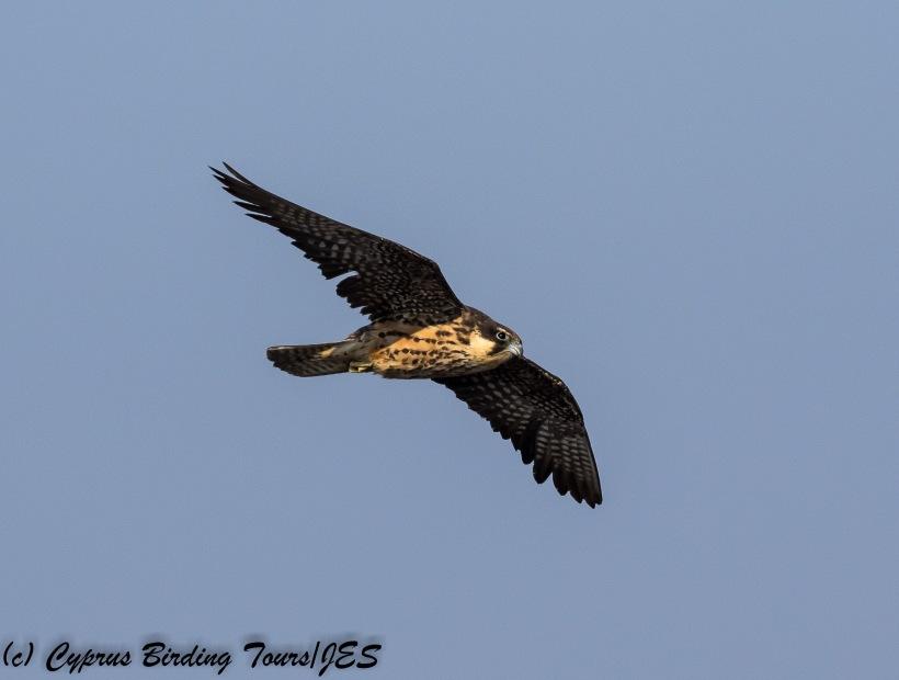 Eleonora's Falcon, Cape Greco 31st August 2017 (c) Cyprus Birding Tours