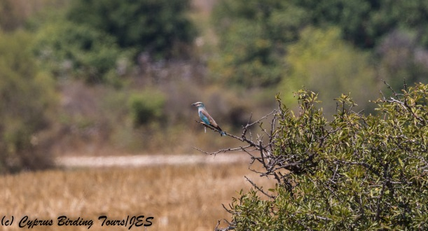 European Roller, Arodes, 10th August 2017 (c) Cyprus Birding Tours