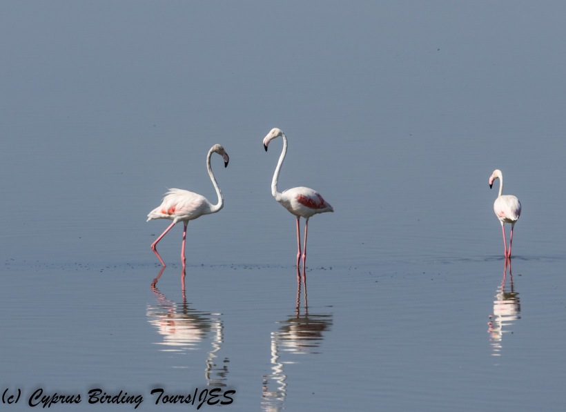 Greater Flamingo. Larnaca Sewage Works 15th August 2017 (c) Cyprus Birding Tours