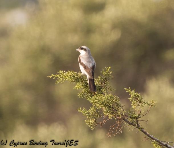 Lesser Grey Shrike, Agia Napa Sewage Works 14th August 2017 (c) Cyprus Birding Tours