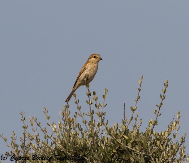 Red-backed Shrike female, Agia Napa Sewage Works 14th August 2017 (c) Cyprus Birding Tours
