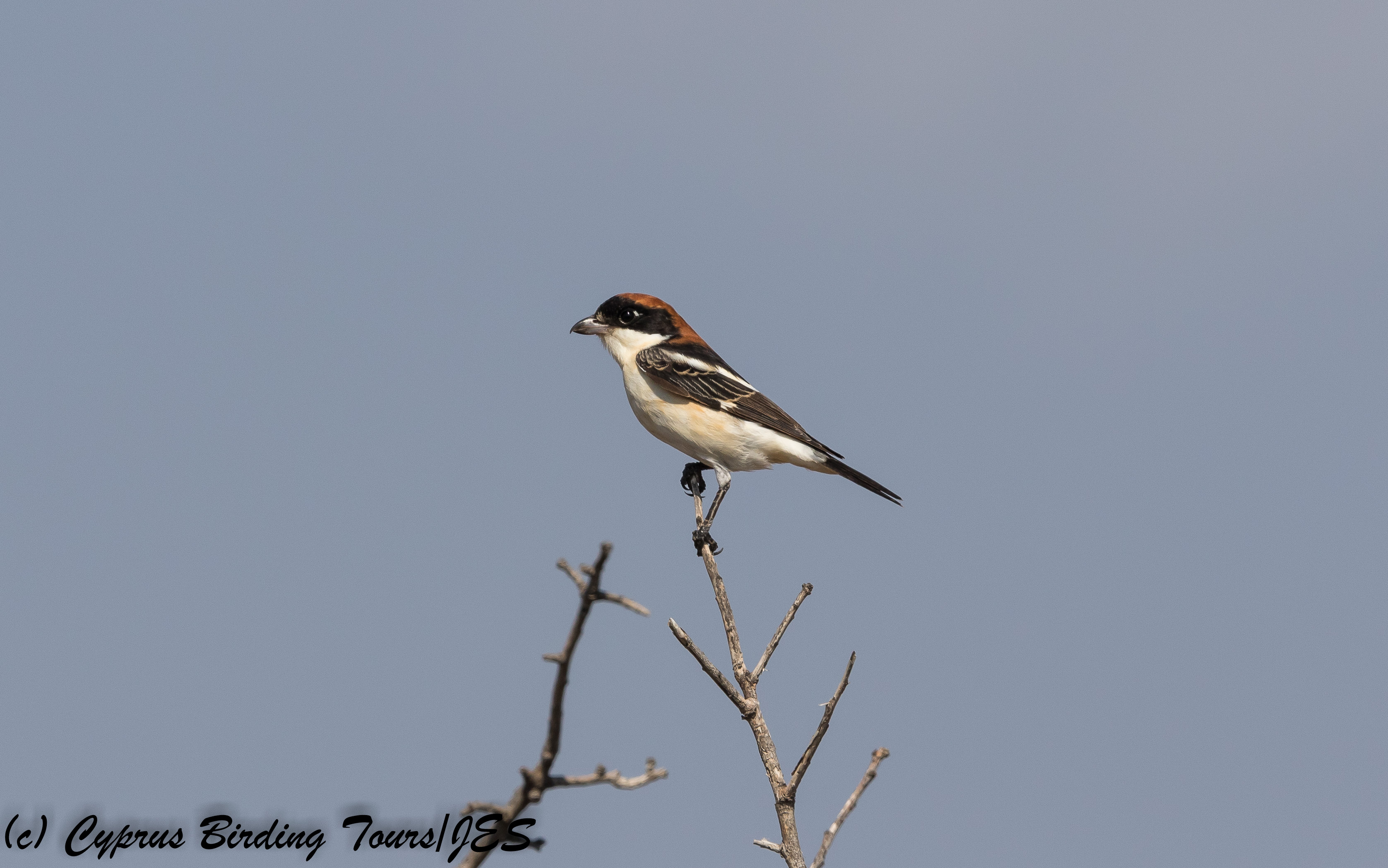 Woodchat Shrike, Androlikou 11th August 2017 (c) Cyprus Birding Tours